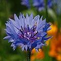 Flowers (9231914769).jpg