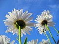 Flowers of Iran گلهای ایران 19.jpg