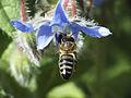 Flying Bee (8598174314).jpg