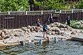 Focario de focas grises (Halichoerus grypus), Hel, Polonia, 2013-05-23, DD 04.jpg