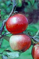 Folkestone on tree, National Fruit Collection (acc. 1964-069).jpg