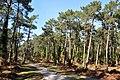 Forêt Pignada - Anglet.JPG