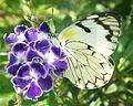 Forest White female 20 03 2011 3.JPG