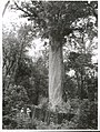 Forestry -Trees Publicity Caption Giant Kauri Tree in Omahuta Forest. Northland Photographer G Riethmaier.jpg