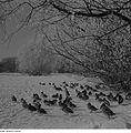 Fotothek df ps 0005649 Landschaften ^ Winterlandschaften ^ Tiere ^ Vögel ^ Enten.jpg