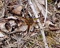 Four-spotted Chaser. Libellula quadrimaculata - Flickr - gailhampshire (4).jpg