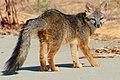 Fox (28861678344).jpg