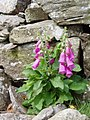 Foxgloves - geograph.org.uk - 210668.jpg