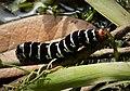 Frangipani Hawkmoth Caterpillar. Pseudosphinx tetrio (37595342265).jpg