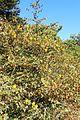 Fremontodendron californicum kz7.jpg