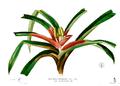 Freycinetia cumingiana Blanco2.437.png