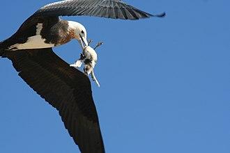 Frigatebird - An immature great frigatebird snatching a sooty tern chick