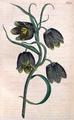 Fritillaria caucasica CBM.png