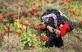 Fritillaria valley, Golestan Kuh (13910224192015905).jpg