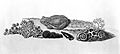 Frogs; from Roesel von Rosenhof; 1758 Wellcome L0001703.jpg