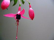 Fuchsia-flower.jpg