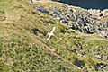 Fulmar near Port Quin (5233).jpg
