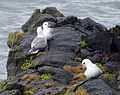 Fulmars. Fulmarus glacialis - Flickr - gailhampshire.jpg