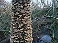 Fungus colony in Oak Dene near Longframlington - geograph.org.uk - 1123281.jpg
