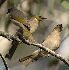 Fuscous Honeyeaters sheepstation may06.jpg
