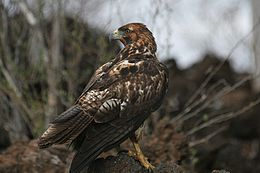 Galápagos Hawk, (Buteo galapagoensis) -looking for prey.jpg