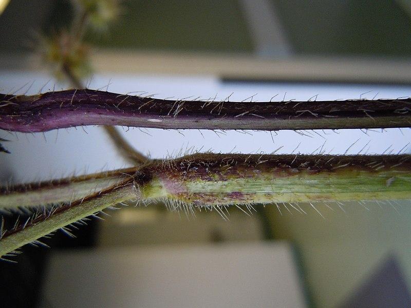 File:Galeopsis tetrahit (5202210018).jpg