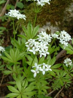Galium odoratum - Wikispecies