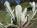 Gamochaeta coarctata2 leaf5 DC (15469312617).jpg