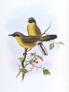 Yellow-throated laughingthrush species of bird