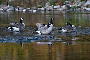 Canada goose - On Spokane River, Washington State