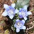Gentiana sikokiana (3 flowers s2).jpg