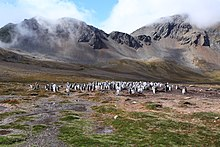 Gentoo Penguin colony at Godthul, South Georgia (5751706054).jpg