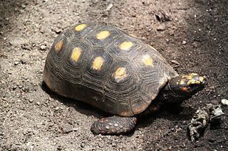 Red-footed tortoise Species of tortoise