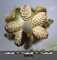 Geranium molle (s. str.) sl27.jpg