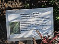 Gewöhnlicher Beifuß Artemisia vulgaris.jpg