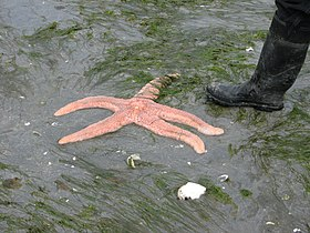 Giant pink seastar with boot.jpg