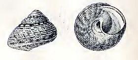 Gibbula varia 001.jpg