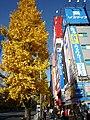 Ginkgo tree with yellow leaf at Akihabara, Tokyo-P1000750.JPG