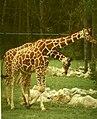 Giraffa camelopardalis reticulata Nürnberg.jpg
