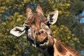 Giraffe. Scientific name Giraffa. (8656237667).jpg