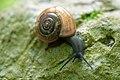Glass snail Aegopinella ressmanni (9010131063).jpg