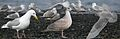 Glaucous-winged Gull from The Crossley ID Guide Eastern Birds.jpg