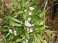 Globularia salicina (Puntallana) 05 ies.jpg