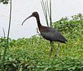 Glossy Ibis at Ngorongoro.jpg