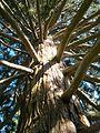 Gmunden Mammutbaum im Toscanapark.jpg