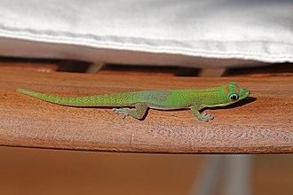 Gold dust day gecko - Island of Nosy Komba, Madagascar
