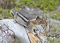 Golden-mantled Ground Squirrel, Mt. Saint Helens 03.jpg