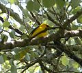 Golden Oriole Oriolus oriolus (2) - Flickr - gailhampshire.jpg