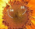 Goldener Schnitt Bluetenstand Sonnenblume.jpg