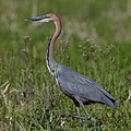 Goliath Heron, Ardea goliath at Marievale Nature Reserve, Gauteng, South Africa (44774367184).jpg